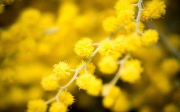 цветы, ветки, весна, жёлтая, боке, cvety, zheltye, maxrovye, мимоза