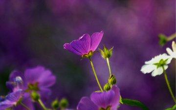cvety, belye, makro, fioletovye, anoda, anody, розмытость