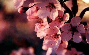 цветы, ветка, цветение, весна, розовые, вишня, сакура, cvety, vesna, vishnya, cvetenie, rozovye, vetka