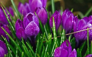 цветы, бутоны, капли, весна, крупный план, первоцвет, крокусы, cvety, fioletovyj, cvetok, priroda, cvet, krokusy, raste