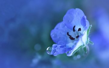 cvetok, goluboj, rastenie, sinij, malenkij, ka, леспестки