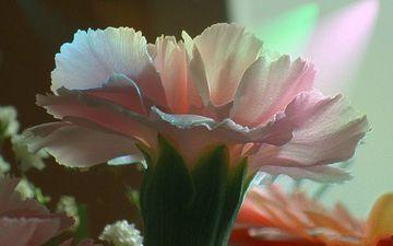 rozovyj, cvetok, buket, gvozdika
