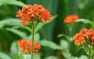 leto, cvetok, malenkij