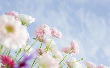 cvety, vesna, belye, nebo, rozovye