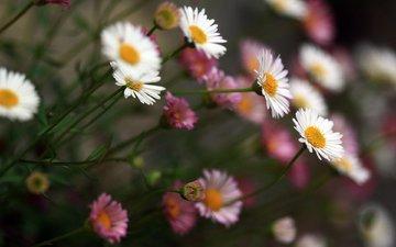 cvety, belye, rozovye, krasivye