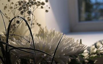 цветы, букет, белые, хризантемы, cvety, belye, buket, xrizantemy