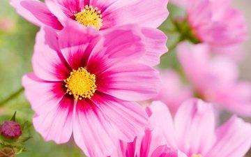 cvety, rozovyj, leto, cvetok, makro