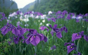 cvety, kapli, zelen, fioletovye, dozhd, irisy, yapon, грустит