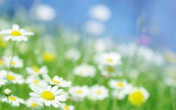 полюс, cvety, romashki, makro, svet, romashka, luchi, грустит