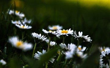 cvety, romashki, trava, polyana, cvetenie, rasteniya, fo
