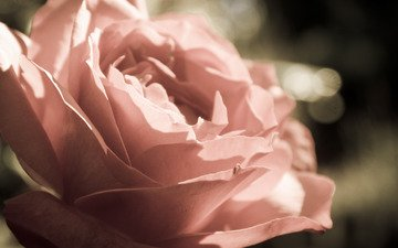 цветы, макро, роза, лепестки, бутон, cvety, makro, buton, roza, леспестки