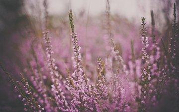 cvety, rozovye, cvet, tusklost
