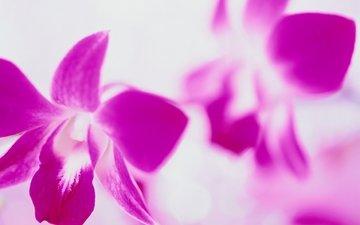 cvety, rozovyj, belyj fon