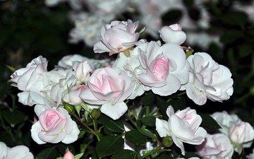 cvety, belye, rozy, buket, nezhnye