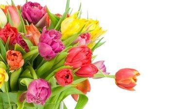 белый фон, cvety, tyulpany, buket, raznye, belyj fon