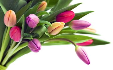 цветы, бутоны, лепестки, букет, тюльпаны, белый фон, стебли, cvety, tyulpany, butony, buket