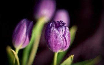 cvety, vesna, tyulpany, fioletovye, леспестки