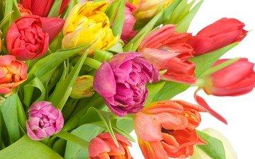 cvety, tyulpany, разнцветные