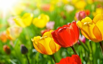 cvety, vesna, tyulpany