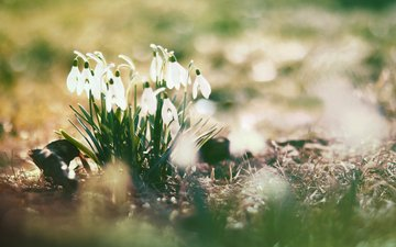 цветы, природа, весна, подснежники, cvety, vesna, solnce, bliki, podsnezhniki