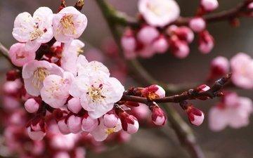 цветы, ветка, цветение, бутоны, лепестки, вишня, сакура, cvety, vetka, леспестки