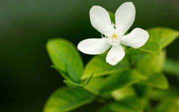 cvety, makro, zelen, belyj, zelenyj, lepestok, леспестки