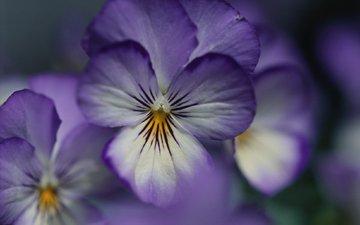 fioletovyj, cvetok, fialka, леспестки