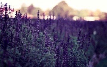 fon, cvety, rasteniya, priroda, boke, vecher, fioletovye