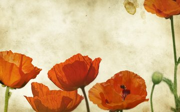 маки, cvety, mak, bumaga, tekstura, granzh