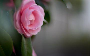 rozovyj, cvetok, makro, listya, kameliya, razm, леспестки