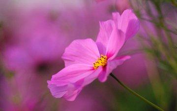 космея, cvety, rozovyj, cvetok, makro, butony, yarkij, р