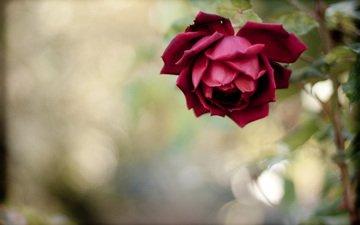 cvetok, roza, krasnaya, stebel, леспестки