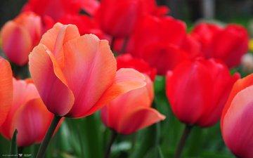 цветы, природа, красные, тюльпаны, cvety, tyulpany, priroda, krasnye