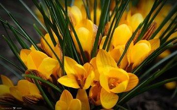желтые, крокусы, cvety, zheltye, krokusy