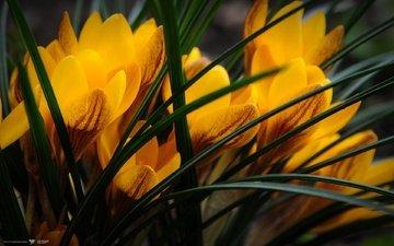 цветы, крокусы, крокус, cvety, zheltye, priroda, krokusy