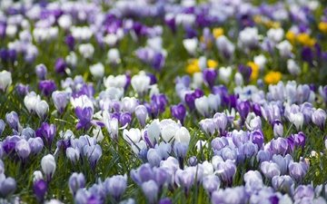 цветы, поляна, весна, первоцвет, крокусы, разные, vesna, belye, polyana, pervocvet, krokusy, pr, sirenevye