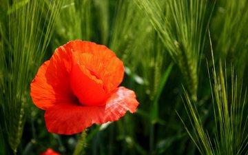 leto, mak, cvetok, priroda, pshenica