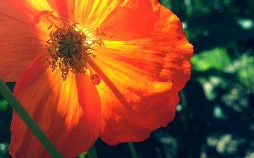 leto, mak, oranzhevyj, zelenyj