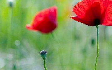 pole, cvety, trava, leto, mak, rasteniya, zelen, svet