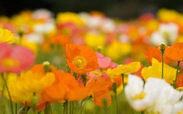 маки, cvety, zheltye, butony, oranzhevye, bely, леспестки