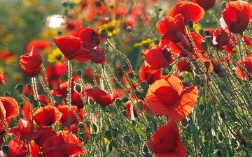 маки, полюс, zheltye, krasnye, drugie cvety