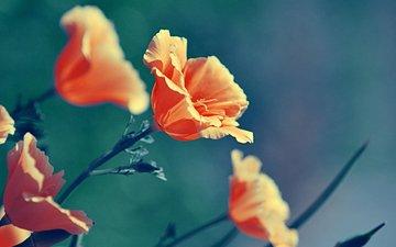 маки, cvety, makro, rasteniya, priroda, cvet, oranzhevye