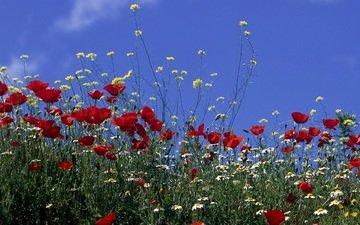 маки, полюс, cvety, romashki, nebo, solnce