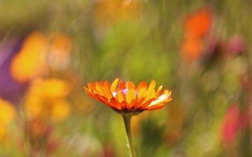 pole, cvetok, makro, oranzhevyj, fokus, razmytost