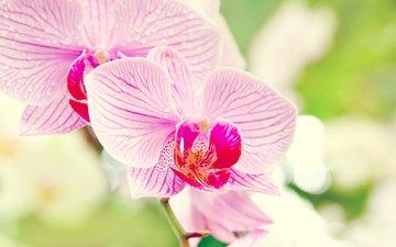 cvetok, makro, orxideya, falenopsis