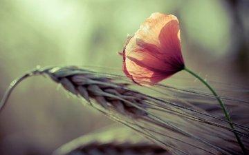leto, kolosok, priroda, stebli, cvetov, леспестки