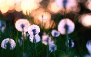 cvety, polyana, listya, priroda, oduvanchiki, travka, cv