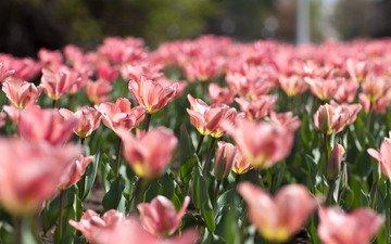 цветы, природа, зелень, листья, размытость, весна, тюльпаны, розовые, нежность, cvety, vesna, nezhnost, tyulpany, rozovye, priroda, kras