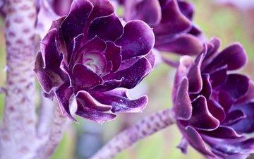 цветы, лепестки, стебли, растение, яркие, фиолетовые, listya, cvetka, purpurnye
