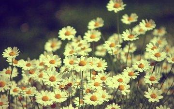 cvety, romashki, rasteniya, priroda